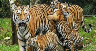 الحلم بالاسود والنمور , تاويل رؤية الاسد او النمر