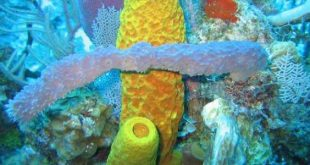 فوائد الاسفنج البحري , فوائد حيوان الاسفنج البحرى