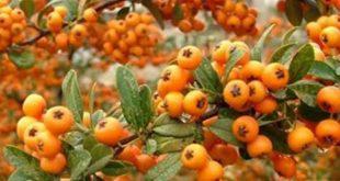 فوائد الزعرور البري , تعالي شوفي اسرار نبات الزعرور