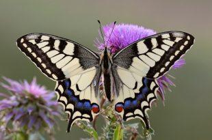 صورة كم تعيش الفراشة , هتستغرف لما تعرف الفراشة بتعيش قد ايه
