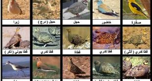 صورة انواع الطيور بالصور , طائر لا يمكنه التحليق في السماء