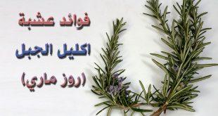 فوائد روز ماري , معلومات عن الروزماري