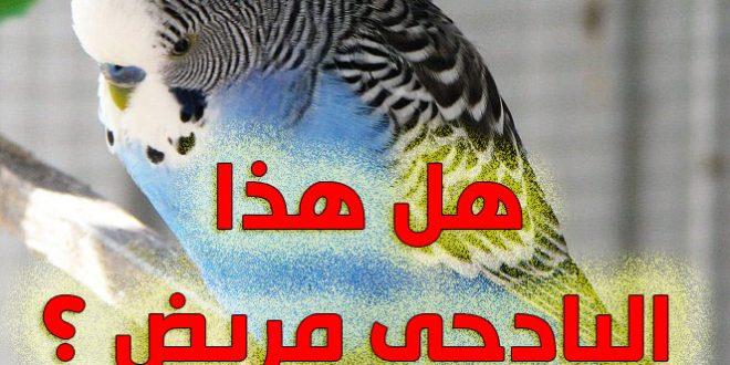 صورة امراض طيور البادجي بالصور , كيف تعرف ان طيرك مريض وكيف تعالجه